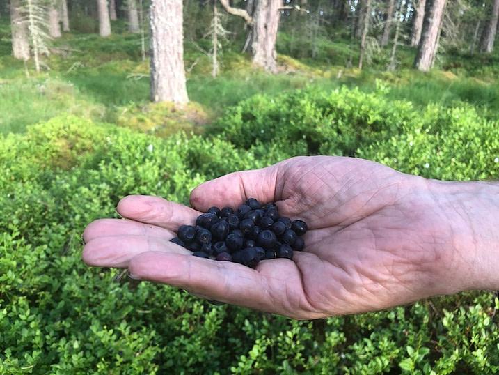 Hand holding foraged blaeberries